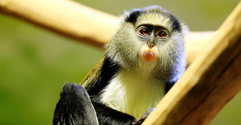 [Linguistique des primates] Apprenez à parler le singe, Futura Planète