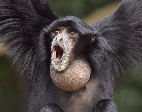 [Vidéo] Le Langage très élaboré des gibbons, par Luca Morino, primatologue