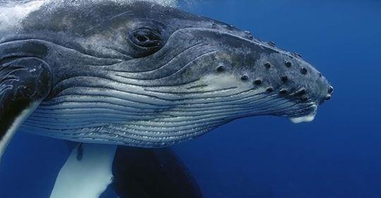 [France Info Junior] À quoi ressemble le chant des baleines ? Olivier ADAM