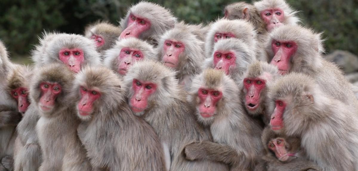 [Conf 16 avril] Comportements culturels chez les macaques japonais