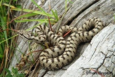 [Conf 16 avril] Dans la peau des serpents de France