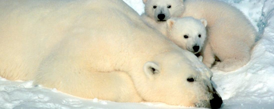 [Série d'articles] Tara, l'ourse polaire face au réchauffement climatique par Jean-Marc Neumann